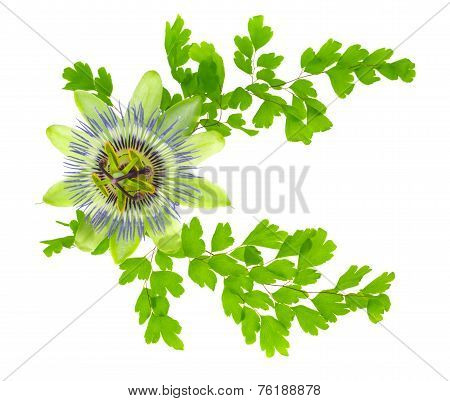 Passion Flower And Crossed Young Green Fern Branches Is Isolated On White Background, Closeup