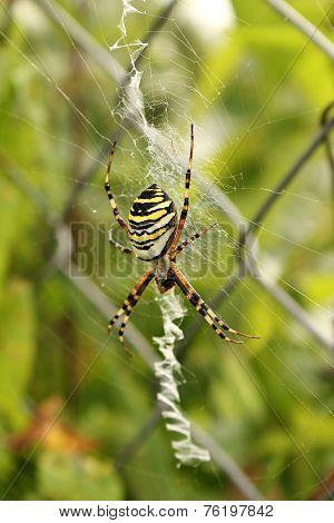 Wasp Spider In The Web.(argiope Bruennichi)