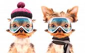 image of dog clothes  - dog  dressed as skier isolated on a white background - JPG