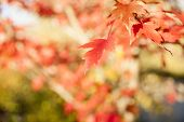 picture of differential  - Maple leaf in differential focus, fall leaf.