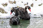 image of black swan  - A pair of black swans in the winter lake - JPG
