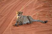picture of cheetah  - Cheetah seating on the savannah at the sunset - JPG