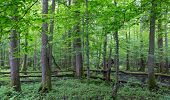 image of alder-tree  - Old alder natural stand of Bialowieza Forest in summer - JPG
