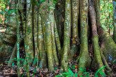 stock photo of rainforest  - Big tree roots or stems in rainforest National park Periyar Wildlife Sancturary India  - JPG