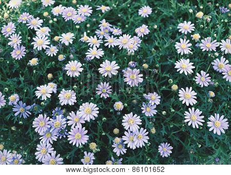 The Margaret purple flowers that bloom (Retro Filters Helga)