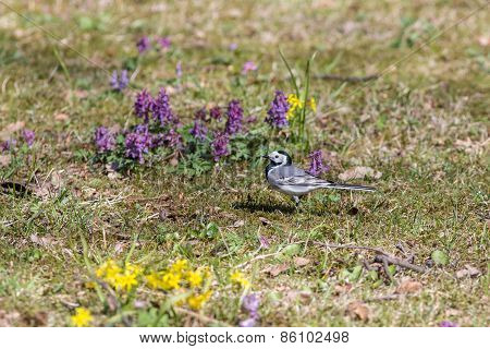 Wagtail On A Spring Meadow