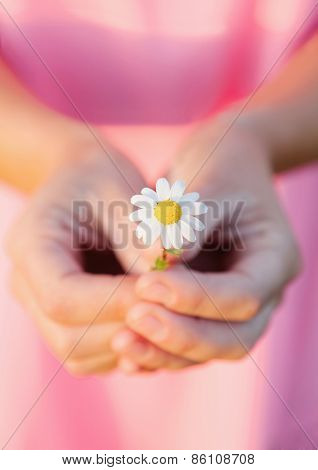Woman hands holding a beautiful daisy with pink blurred background