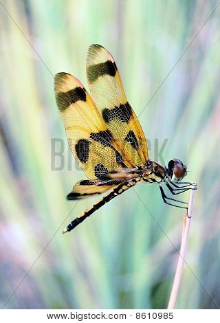 Very Close up Dragonfly