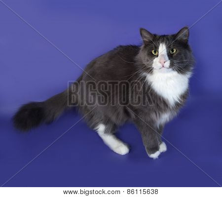 Large Gray Fluffy Cat With White Spots Standing On Blue