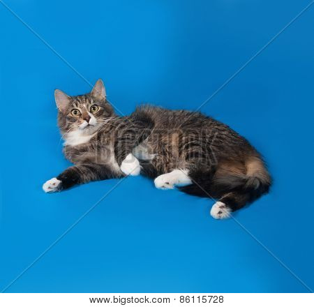 Fluffy Tabby Cat Teenager Lying On Blue