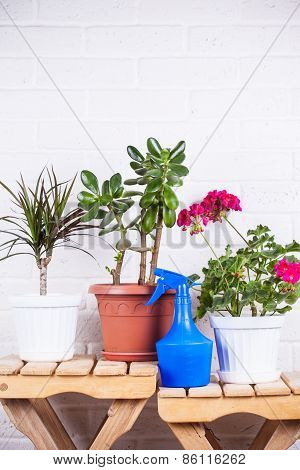 Pink Pelargonium, Crassula, Dracaena In Pots And Blue Sprayer Standing On Wooden Chair Against White