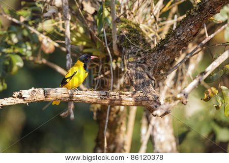 A Black-hooded Oriole Perched On A Tree Branch