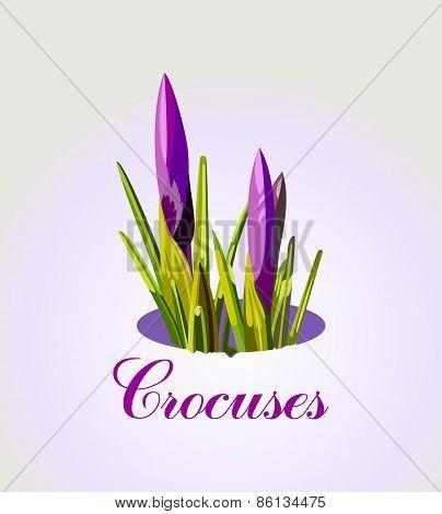 crocuses