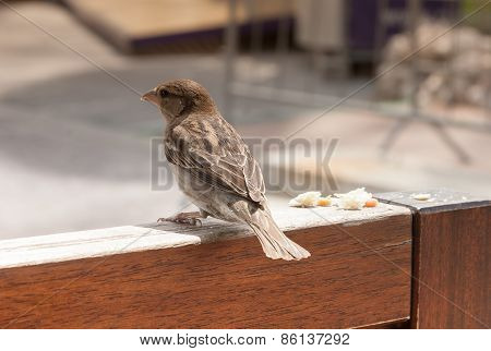 Little Brown Sparrow