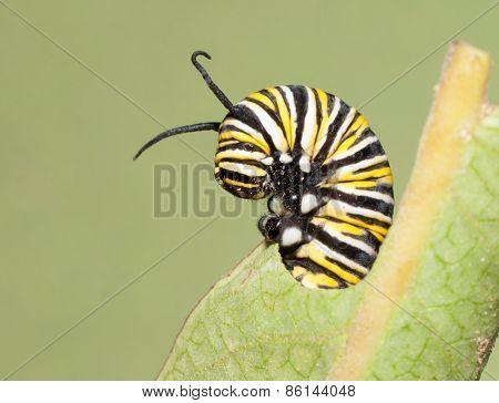 Closeup of a Monarch caterpillar feeding on a Milkweed leaf