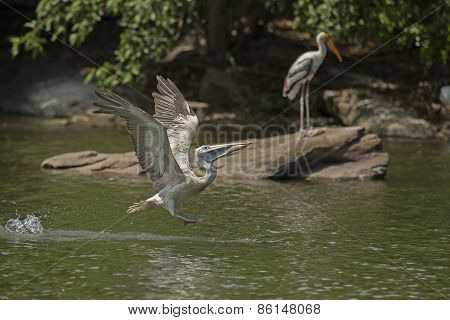 Grey Pelican or Spot Billed Pelican