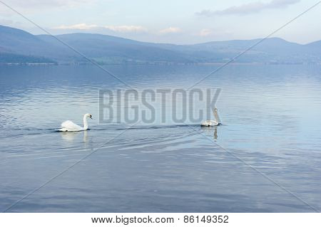 Couple Of Swans In A Lake