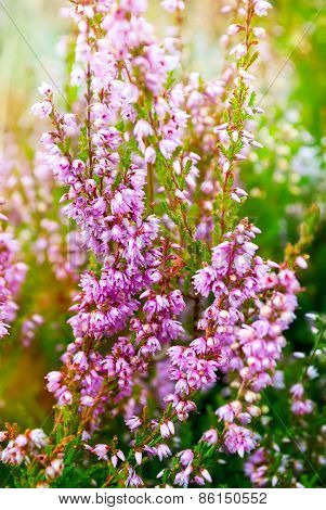 Heather  Violet Flowers