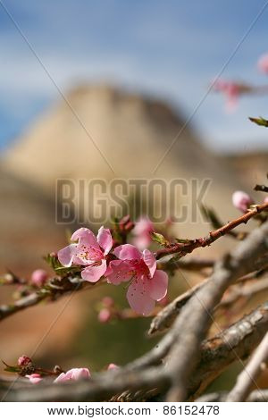 Flowering Dogwood in Zion National Park