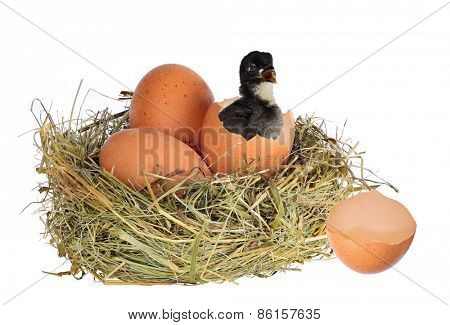 chicken in nest with eggs isolated on white background