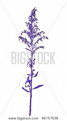 old lilac color plant isolated on white background