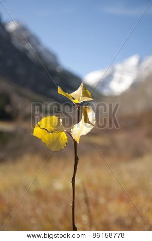 Leaf in Maroon Bells, Aspen, Colorado