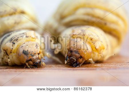 Larva Of A.rhinoceros Beetle