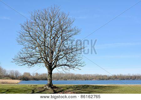Chestnut tree on a meadow
