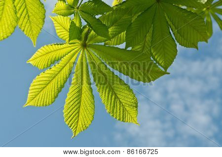 The Chestnut Leaves Against The Sky