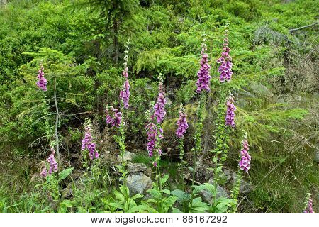Foxglove flower in the forest