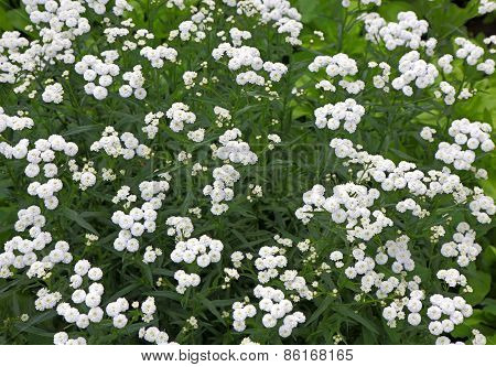 Small White Perennial Bush Flowers