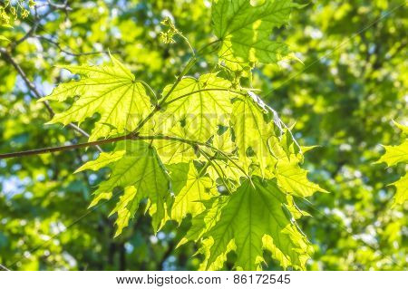 Green Maple Leaves Close-up, Backlit