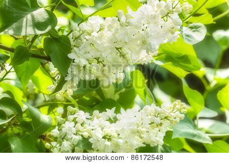 Flowering Branch Of White Lilac Close Up