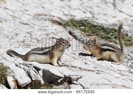 Pair Of Golden-mantled Ground Squirrels - Alberta, Canada