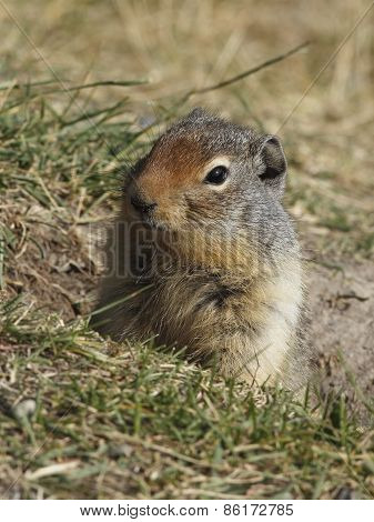 Columbian Ground Squirrel Peering Out Of Its Burrow - Banff, Canada