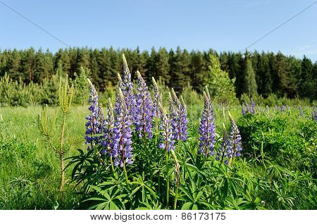 Blooming Lupines In The Woods