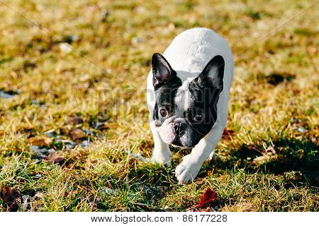 Beautiful French Bulldog Puppy Dog Pup Puppy Whelp Outdoor