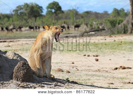 Lioness yawning in Hwange National,park