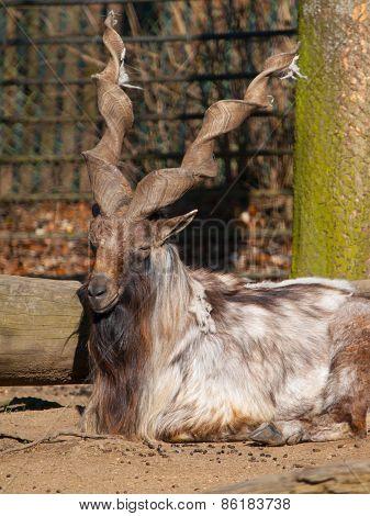 Markhor wild goat