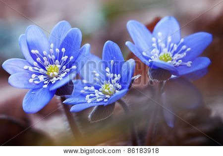 First Spring Flowers Hepatica