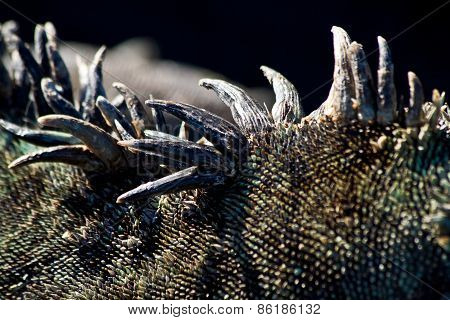 Closeup shot of a marine iguana's spikes in the Galapagos Islands