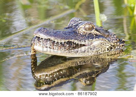 Alligator And Snake