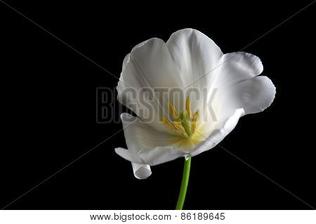 Beautiful white tulip on black background