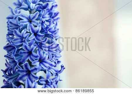 Beautiful blue hyacinth close up