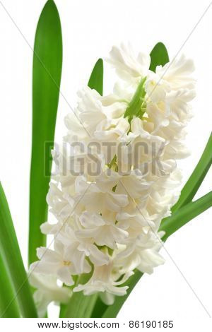 Beautiful hyacinth close up