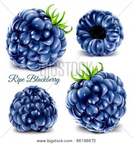 Blackberries. Vector illustration.