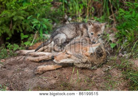 Coyote (canis Latrans) Pup Sits On Top Of Adult