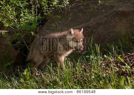 Grey Wolf (canis Lupus) Pup Licks Nose