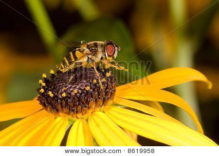 Preening Honeybee On A Black-eyed Susan