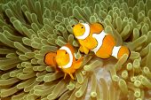 picture of clowns  - Two Clown Anemonefish Amphiprion percula swimming in their sea anemone - JPG